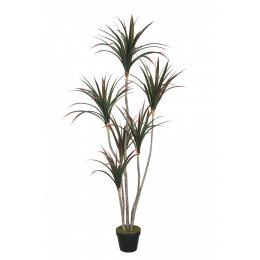 Dracaena In Pot 160cm Dragon Tree